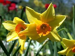 Garden Pests and Diseases of Bulbs, Corms and Tubers