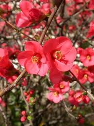 Choosing and Buying Plants - Chaenomeles