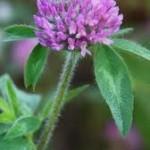 Essex red clover (Trifolium pratense) Short-term perennial z6
