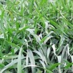 Grazing rye (Secale cereale) Hardy annual z5