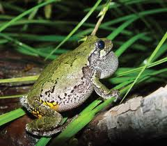 beneficial garden creatures - frogs and toads