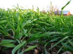 Green Manuring and Green Manure Crops