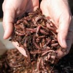 Worm Compost and Worm Composting