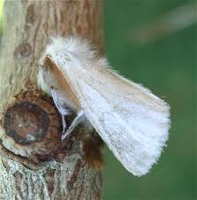 Brown tail moth (Euproctis chrysorrhoea) - pests and diseases of woody plants