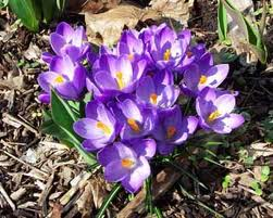 Pests and Diseases of Bulbs, Corms and Tubers - Crocuses
