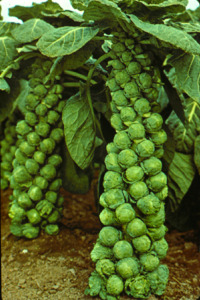 pests, diseases and problems of vegetables - brussels sprouts