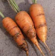 Pests and Diseases of carrots, parsley and parsnips