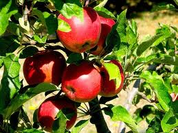 top fruit and tree fruit - growing apple trees