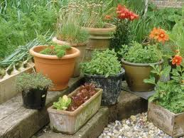 growing herbs organically