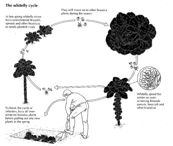 the Cabbage Whitefly cycle