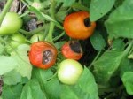Tomatoes Pests and Diseases