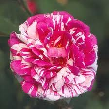 'Camaieux' Gallica Rose