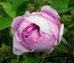 Centifolia Roses and Moss Roses