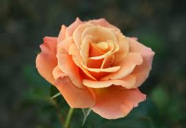 Floribunda Roses - Types of Rose