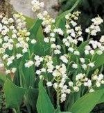 Greenhouse Bulbs – Lily of the Valley and Muscari