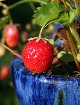 Growing Fruits in Pots and Containers