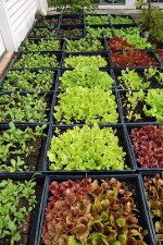 Growing Lettuce in Greenhouses and Frames
