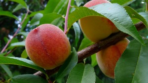 Cultivation of Peaches and Nectarines