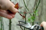 How to Prune Roses and Rose Bushes