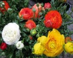 Growing Ranunculus Bulbs and Other Bulbs