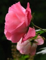 Soil Types for Growing Roses