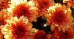 Types of Chrysanthemum