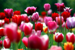 Growing Tulip Bulbs