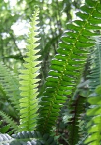 ferns pests and diseases