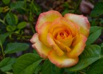Introduction to Growing Roses and Rose Types