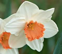 Growing Narcissus Bulbs