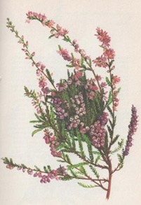 Calluna-vulgaris-(Scotch-Heather)