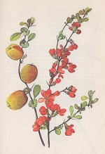 Chaenomeles Japonica or Dwarf Quince