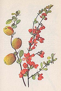 Chaenomeles-Japonica-or-dwarf-quince
