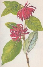 Calycanthus floridus (Carolina Allspice or Common Sweet Shrub)