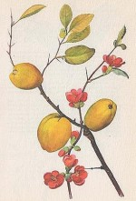 Chaenomeles speciosa or Japanese Quince