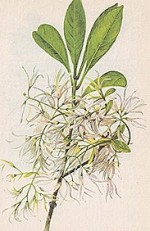Chionanthus Virginicus or White Fringe Tree