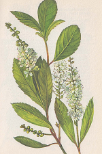 Clethra Alnifolia (Sweet Pepper Bush)