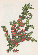 Cotoneaster Horizontalis or Rock Cotoneaster