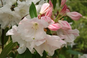 saddle grafting of rhododendrons
