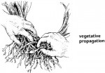 How Vegetative Propagation Works