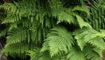 The Identification of Ferns