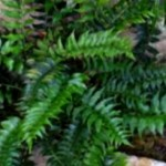 Growing Ferns for Your House and Courtyard