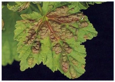 blister damage to a red currant leaf caused by aphid attack