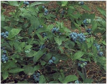 blueberries will flourish only in very acidic soil