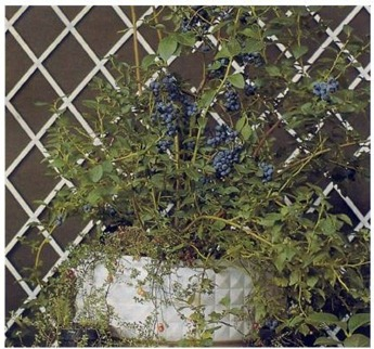 blueberry bush in a container