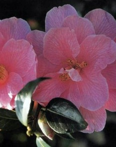 camellia 'J.C. Williams'