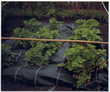 Best Strawberry Growing Tips and Advice
