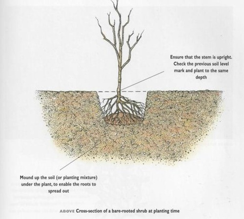 cross section of a bare rooted shrub at planting time