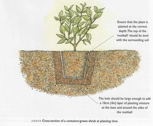 cross section of a container grown shrub at planting time