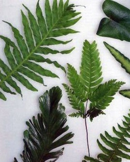 different shapes of indoor fern leaves